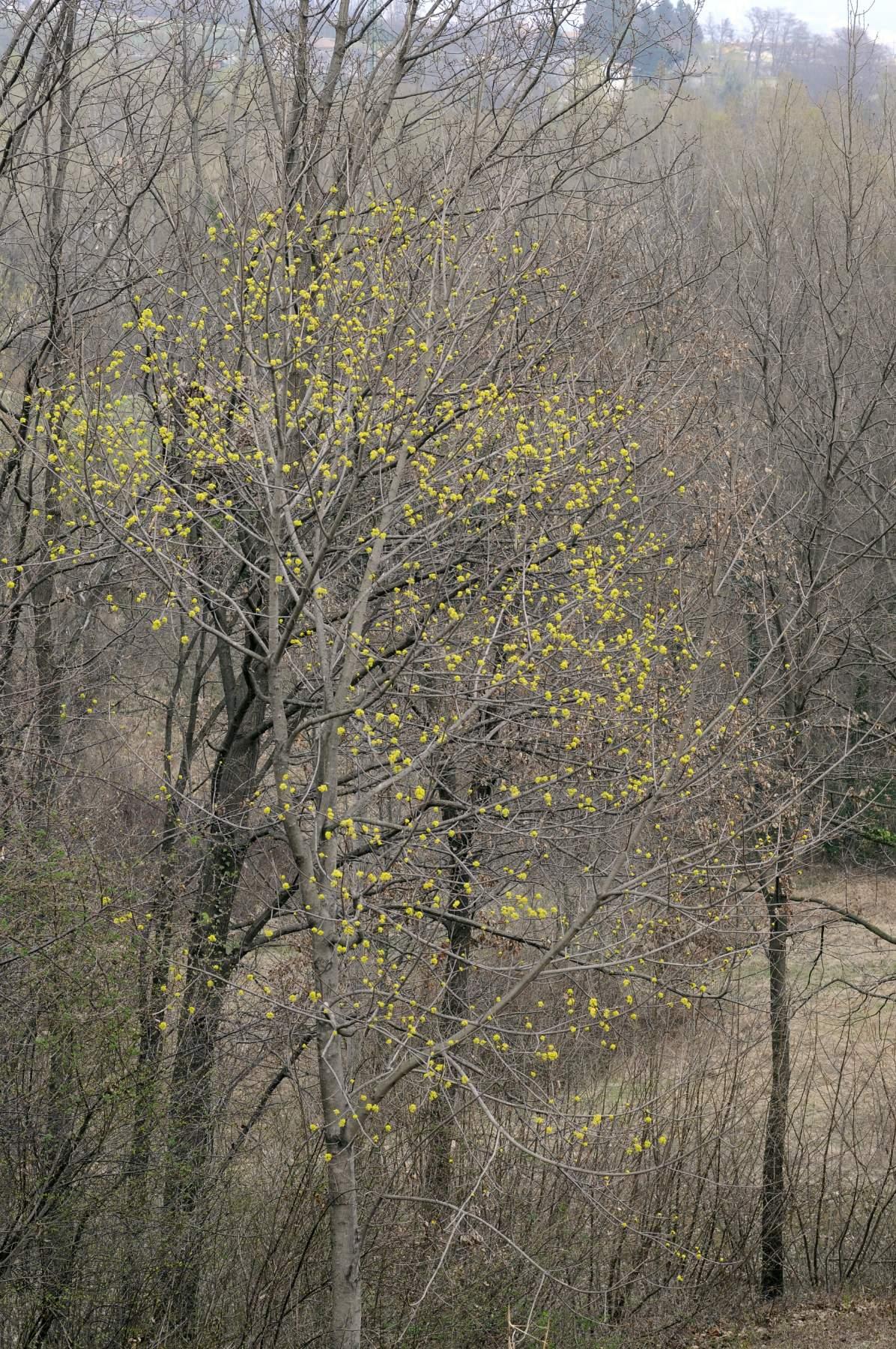 Acer platanoides acero riccio o di norvegia for Acero riccio
